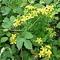 Millepertuis (Hypericum perforatum) et houblon (Humulus lupulus)