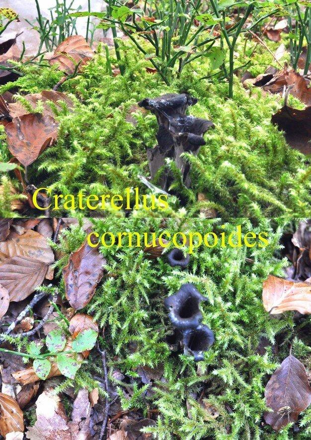 Craterellus cornucopoides
