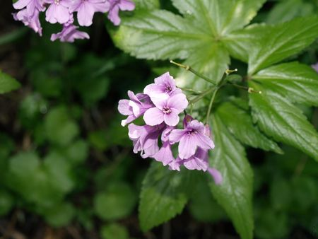 cardamine_digitata