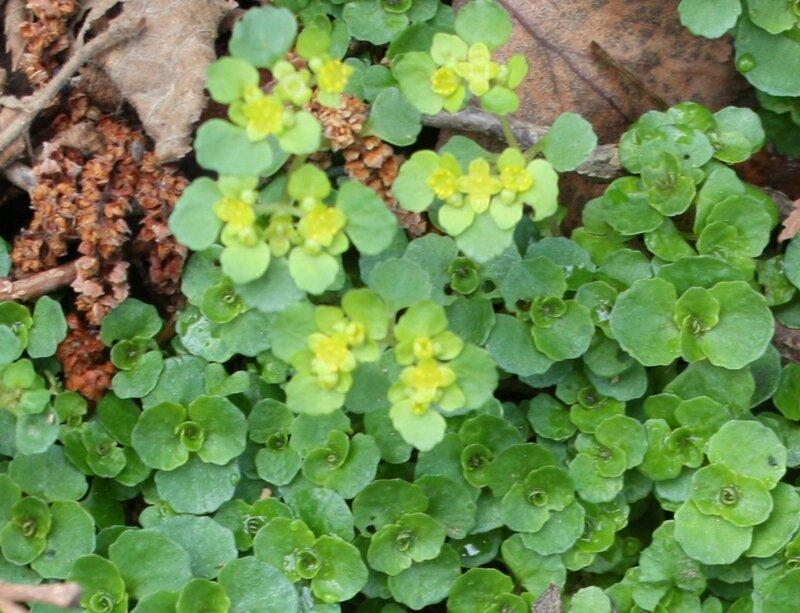 Dorine Chrysosplenium alternifolium Saxifragacee (2)