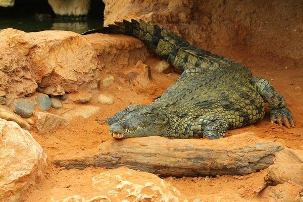 Crocodile 05