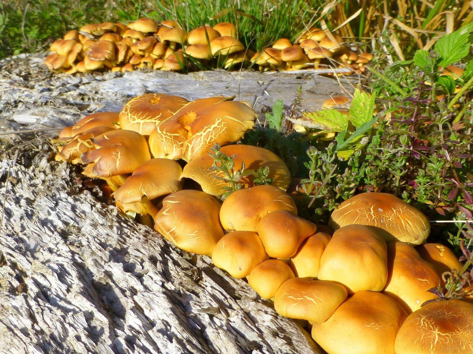 champignon : pholiote dorée ?