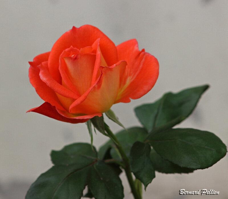 20201017_flore_rose_
