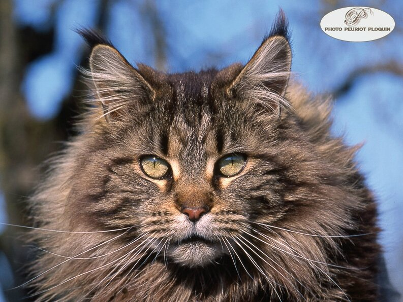 CHAT_MAINE_COON_portrai
