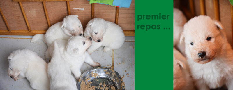 chiot-berger-blanc-adoption