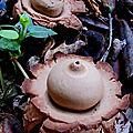champignon : geastrum