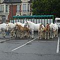 Concours d'élevage boulonnais de st pol