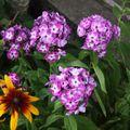 2009 07 24 Phlox et une fleur de rudbeckia