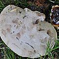 Ganoderma lucidum (1)