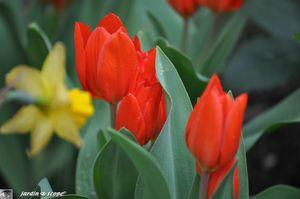 Tulipes-rouges