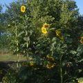 2009 08 17 Mes tournesols géants en fleurs