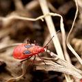 Macrophotographie_Nature_Insecte_Heteroptere_Pyrrhocoride_Dysdercus_1