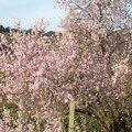 FLEURS D'AMENDIER زهور اللوز