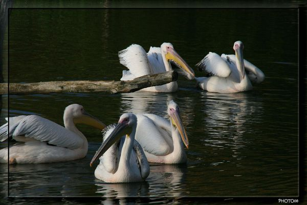 GROUPE PELICANS 1