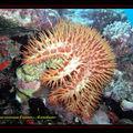 Etoile de mer couronne d'épine , Acanthaster