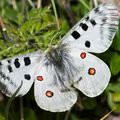 Parnassius apollo-apollon