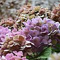 [bretagne] iconiques hortensias....