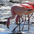 141 Flamands rose