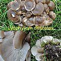 Lyophyllum descates