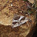 Dysgonia algira ( Passagère)