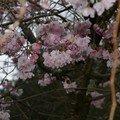 cerisiers du japon 1
