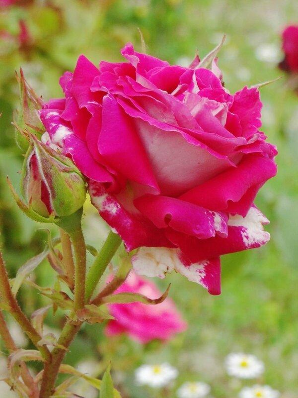 rosier bicolore sans nom
