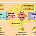 Terminale spécialité svt, la respiration cellulaire