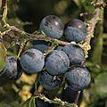 Prunelles aux bord de l'Yerres