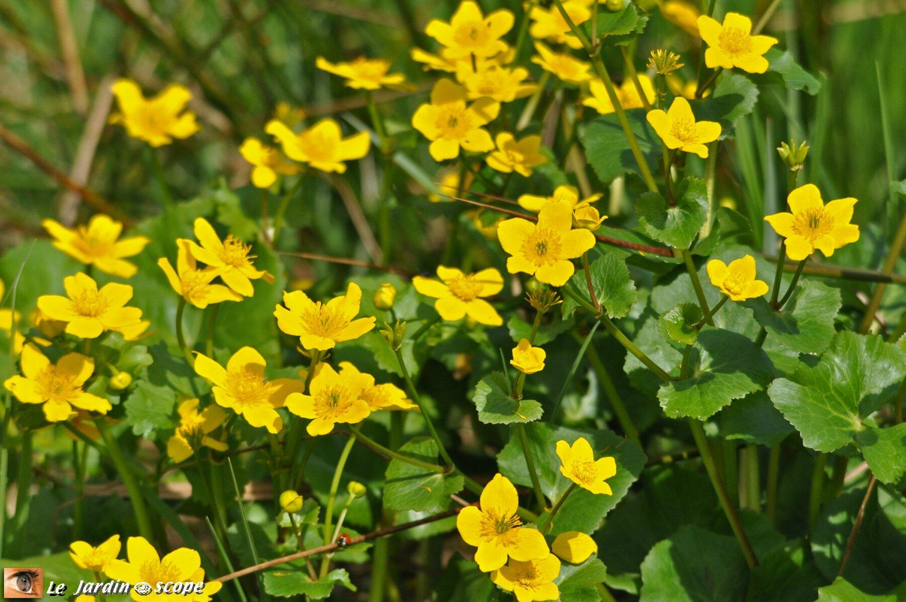 plante aquatique fleurs jaunes
