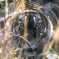 Rencontre avec les tigres de l'inde