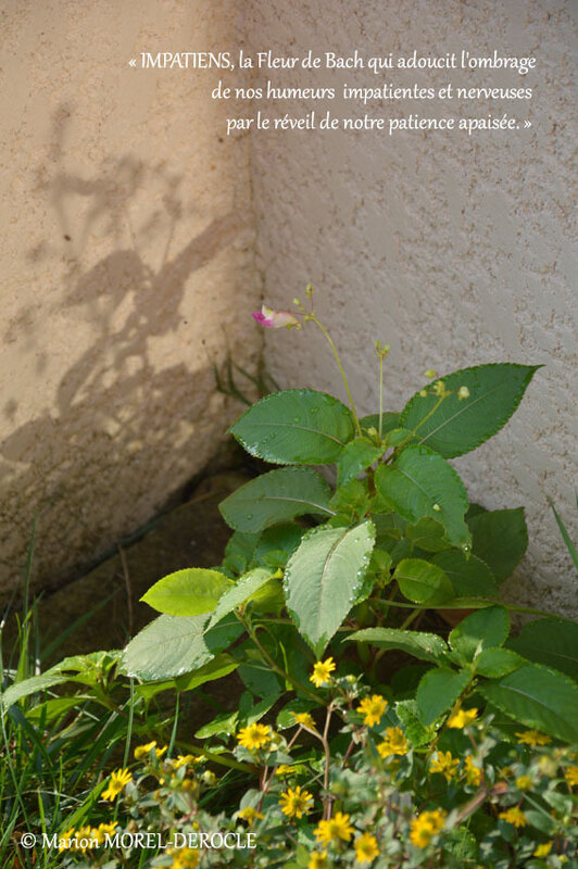 Impatiens plante, photo 1, Marion_Morel-Derocle
