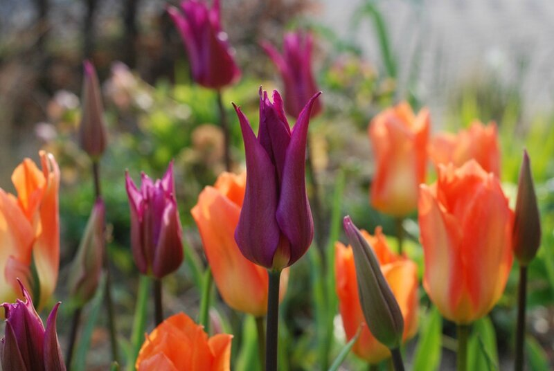 Tulipa ' Purple Dream'