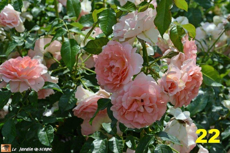 22-Concours international de roses d'Orléans 2016