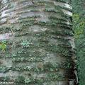 Butela maximowicziana • Bouleau • F. des Betulaceae