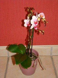 Orchid_e_Annie__6