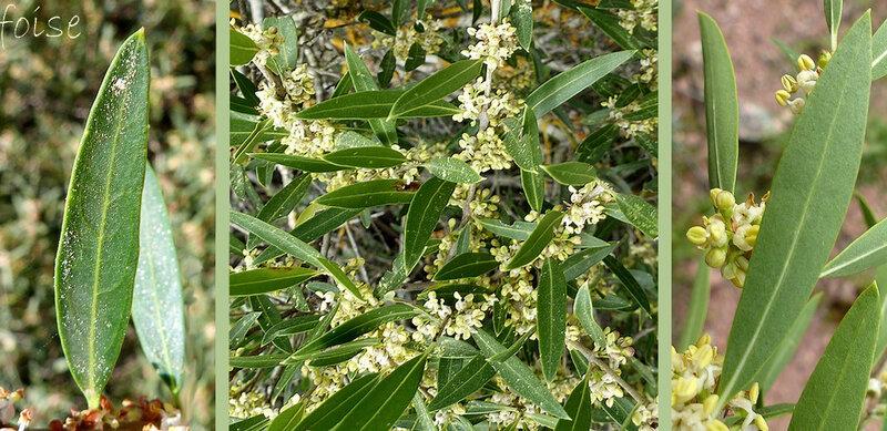 rameaux grêles et élancés feuilles de 4-8 mm de large lancéolées-aiguës entières