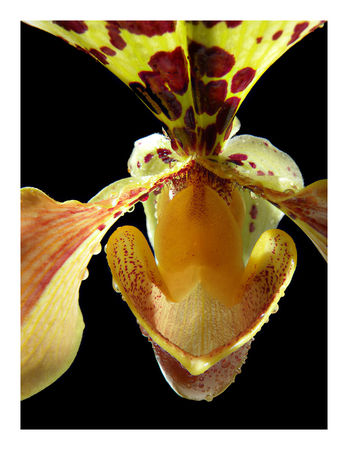 orchidsvenus