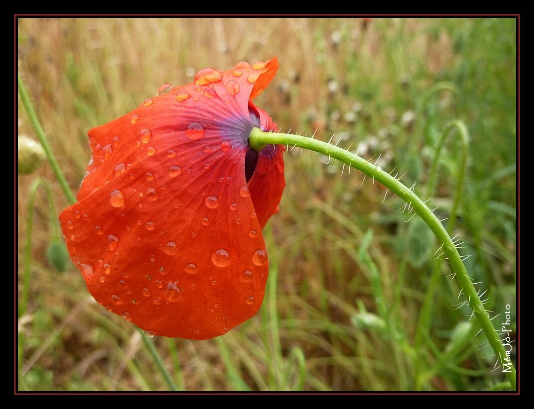 Mission Coquelicots