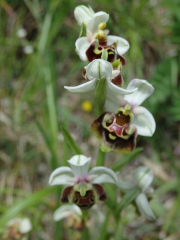 ophrys apifra blanche