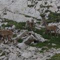 2009 06 29 Des bouquetins sur le sommet du Grand Veymont dans le vercors (6)