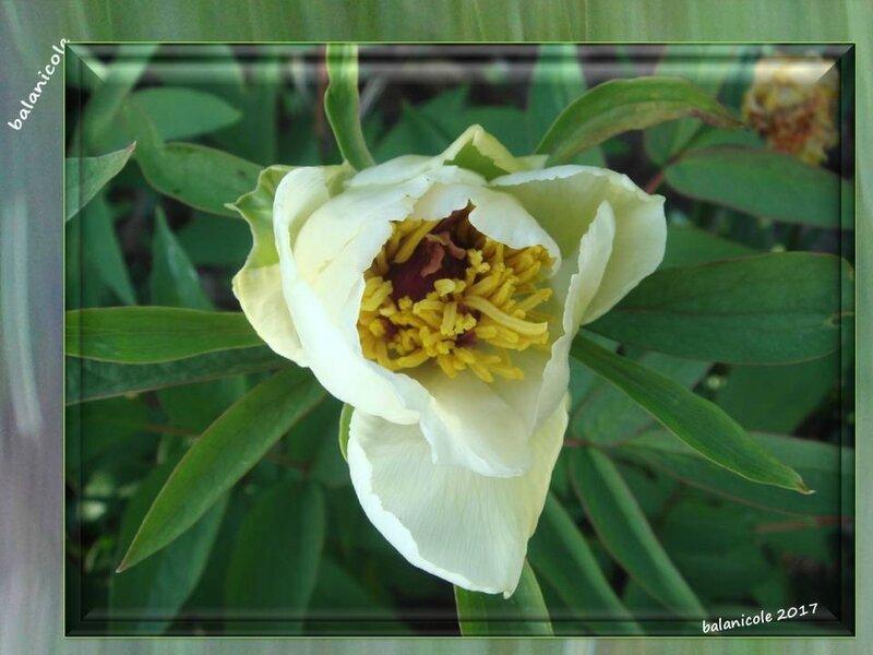 balanicole_2017_07_le printemps des pivoines_14_arbustive3