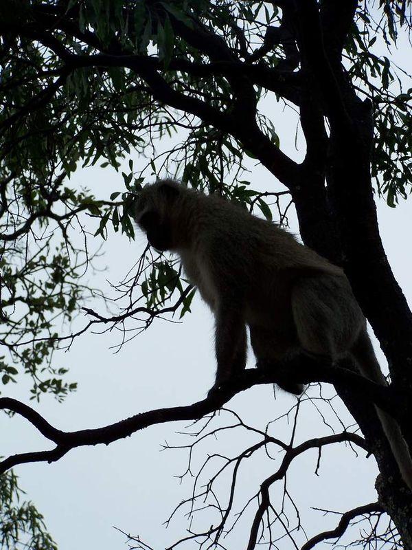 Encore une serie de photos des singes Vervet