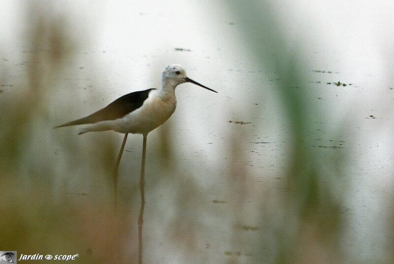 Echasse blanche • Himantopus himantopus