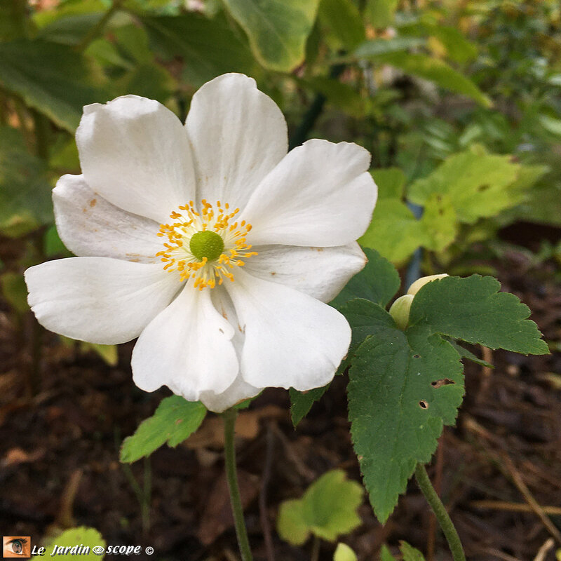 Anémone-du-japon-blanche