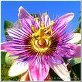 Passiflore, passiflora, fleur de la passion