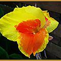 Dernière fleur de Cana le 3 novembre