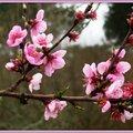 Fleurs de Pêcher 310315