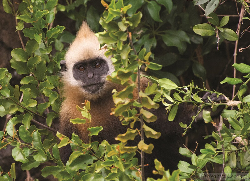 LANGUR DE CAT BA (PHOTO NEAHGA LEONARD)