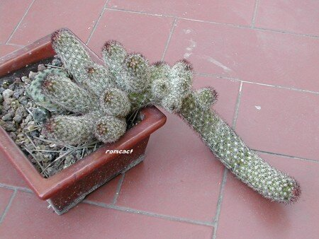 Mammillaria_viperina__2_