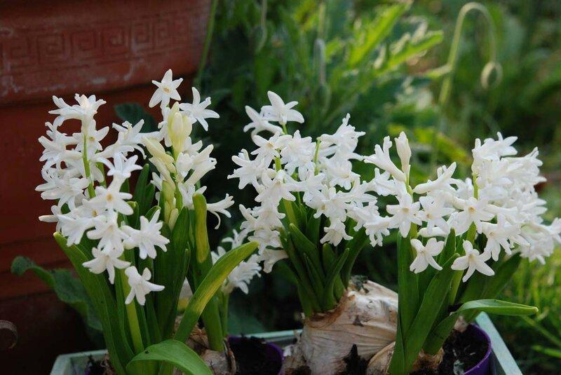 hyacinthus muliflora 'Snow White'